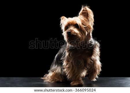 Cute Brown Yorkie Silky Mutt Playing - stock photo
