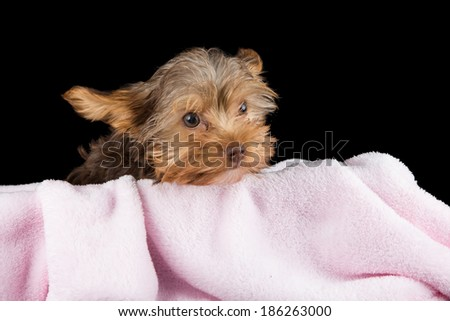 Cute brown Yorkshire terrier in a bed of pink blanket against a black background - stock photo
