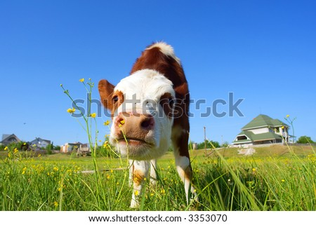 Cute bull-calf smells wild flowers in front of a house - focus on nostrils. Shot in Ukraine.
