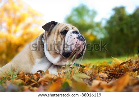 Cute Bulldog in a park in autumn - stock photo