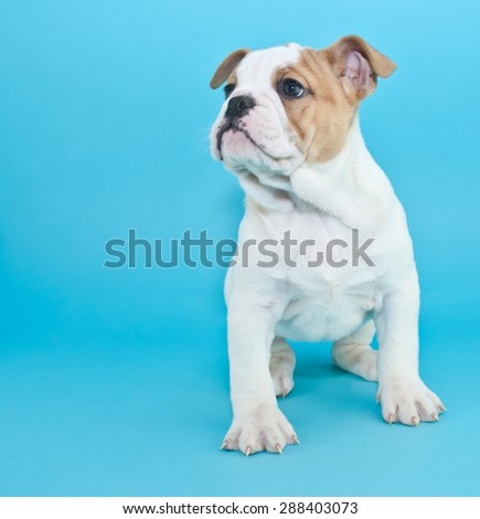 Cute Bulldog puppy sitting on a blue background, looking to the right, with copy space.