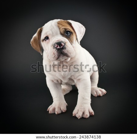 Cute Bulldog puppy standing with a sweet look on his face on a black background. - stock photo