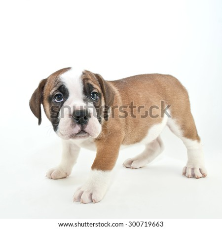 Cute Bulldog puppy that looks like he just got in trouble, with copy space on a white background.