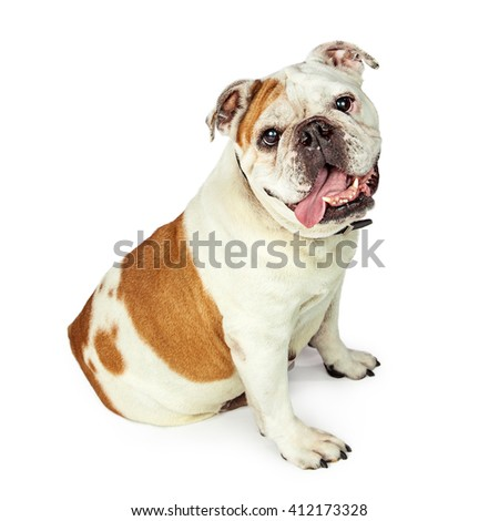 Cute bulldog sitting to side with tongue out - stock photo