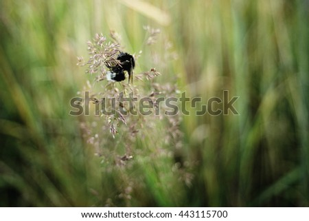 cute bumblebee pollination herb wildflower in summer meadow at sunset - stock photo