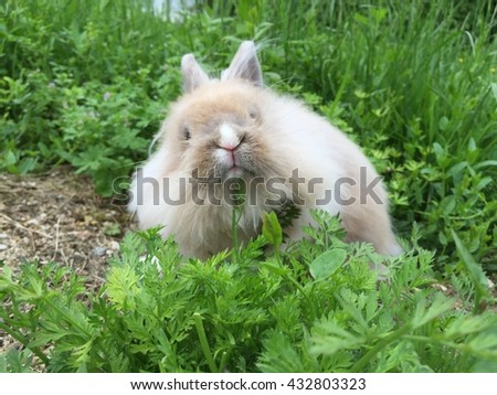Cute bunny lionhead rabbit playing in green grass
