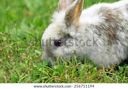 Cute bunny running free outside eating grass