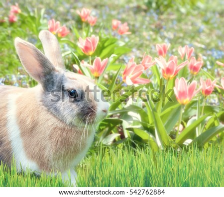 Cute bunny sitting in the grass with red tulips behind, Happy Easter!