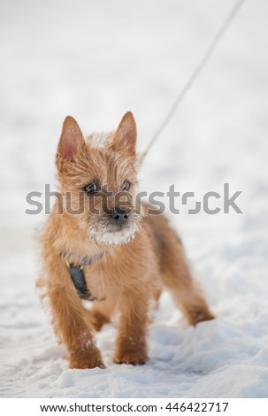 Cute Cairn Terrier puppy playing outside in cold winter snow. Young dog walking in the park on a sunny day.