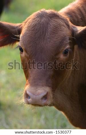 Cute Calf - stock photo