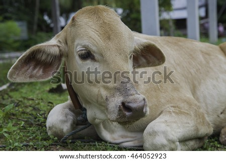 Cute calf on farm. white cows eat hay grazing on the grass for growth.