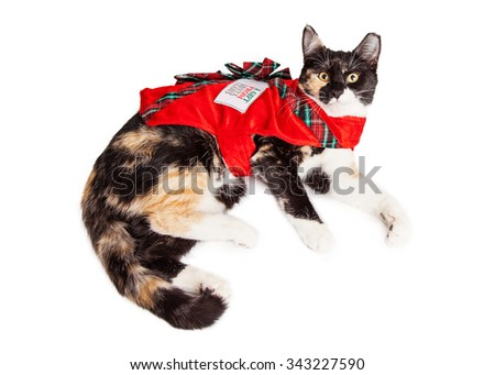 Cute Calico breed cat laying down wearing a costume as a Christmas gift - stock photo