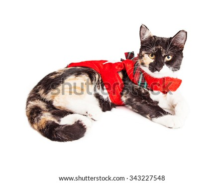 Cute Calico breed cat laying wearing red Christmas outfit - stock photo
