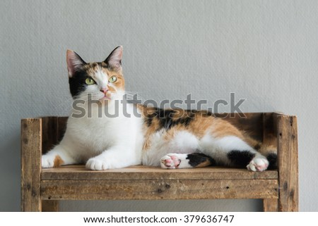 Cute calico cat lying and looking on old wood shelf