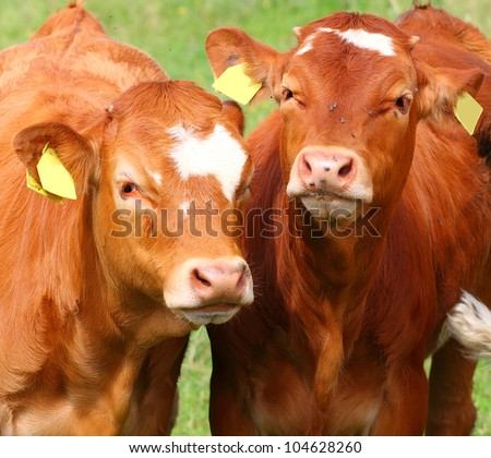 Cute calves cow on a rural meadows. - stock photo