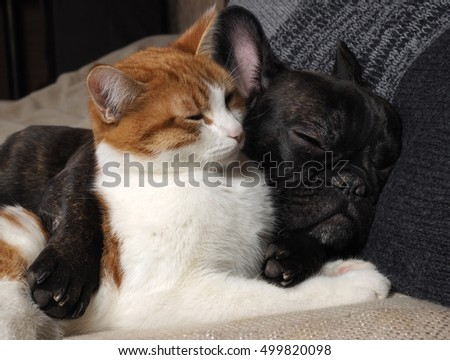 Cute cat and dog sleeping together. The cat is white with red, black dog, a French bulldog