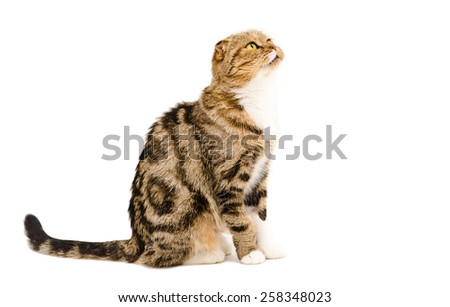 Cute cat breed Scottish Fold sitting isolated on white background, side view