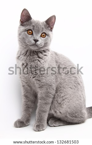 Cute cat British breed
