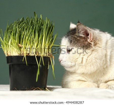 cute cat face with green grass pot close up photo