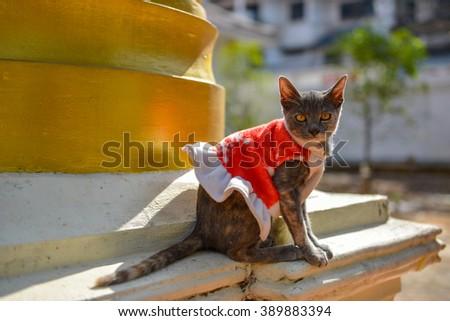 Cute cat in santa cross suit - stock photo