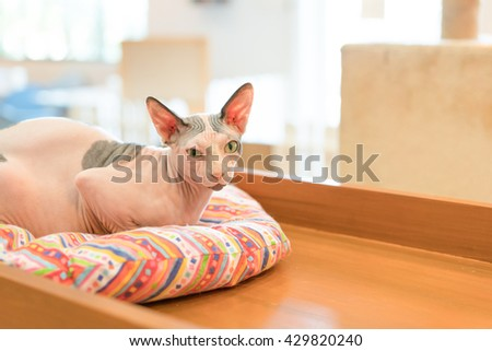 Cute cat is sitting in his cat bed, Don Sphinx cat - stock photo