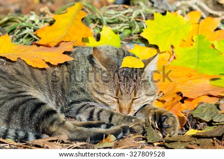 Cute cat lying in the autumn park on the colorful fallen leaves - stock photo