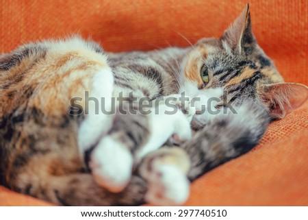 Tabby Cat Orange And White Brandon