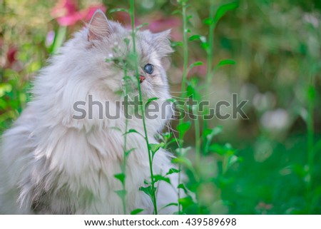Cute Cat. Persian Cat, Animal portrait. lovely Cat, Silver Cat, Cat in the garden,Persian cat in the home garden with flower on grass, friendly cat, Persian cat playing, Persian  - stock photo