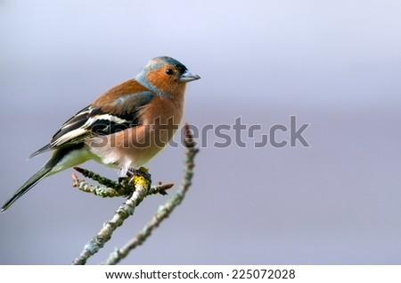 cute chaffinch bird on a twig  - stock photo