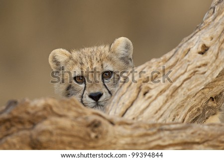 cute cheetah cub (Acinonyx jubatus) looking over log, South Africa - stock photo
