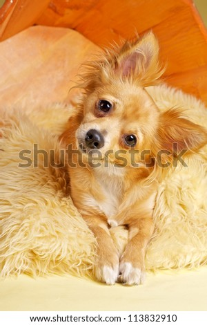 Cute chihuahua - stock photo