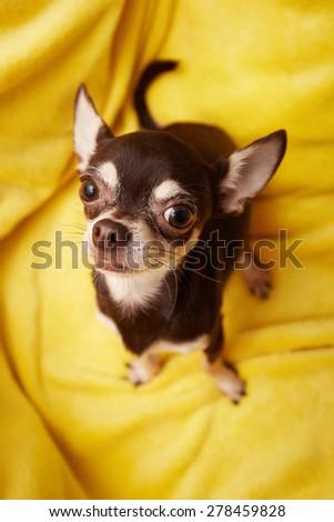 cute chihuahua - stock photo