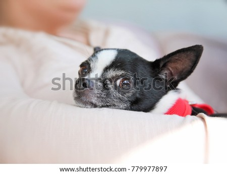 cute chihuahua being held in her owner's arms while looking at the camera