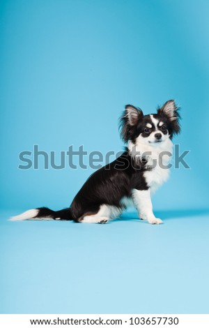 chihuahua long haired stock photos royalty free images