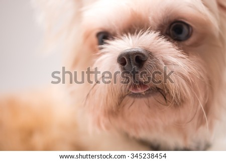 Cute chihuahua breed dog in brown hair color - stock photo
