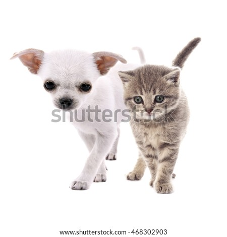 Cute chihuahua dog and adorable tabby kitten together on white background. Animal friendship concept.