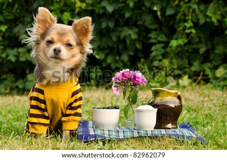 Cute chihuahua dog at the picnic in summer garden - stock photo
