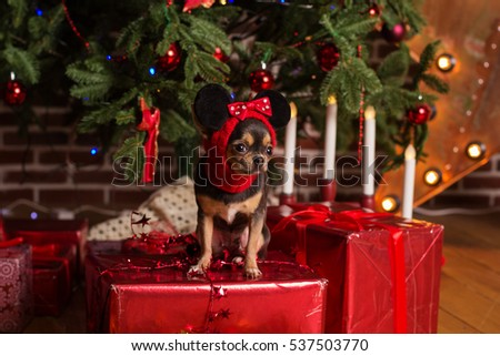Cute chihuahua dog, christmas concept