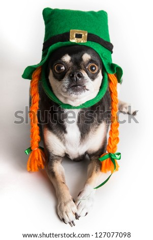 Cute Chihuahua dog dressed as leprechaun with green hat and orange braids. Isolated on white background with light shadow.
