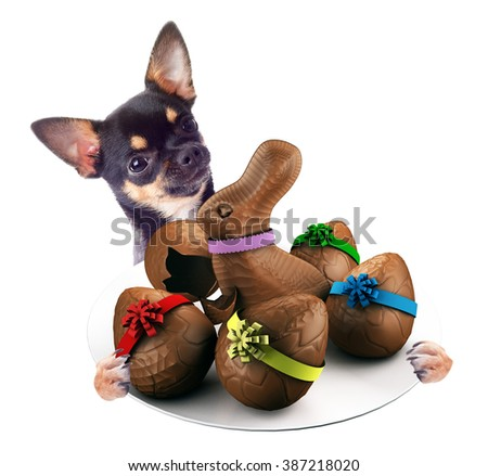 Cute Chihuahua dog have tasty dish between the legs with chocolate eggs, isolated on white background - stock photo