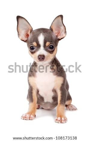 Cute Chihuahua dog on a white background. - stock photo