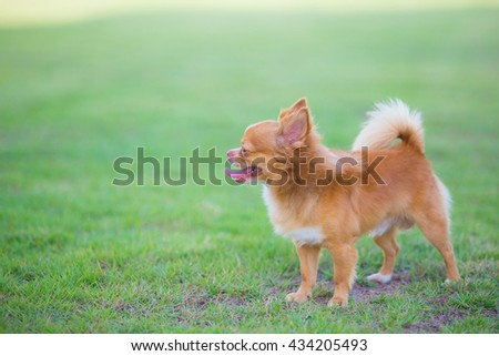 cute chihuahua dog play in field of grass