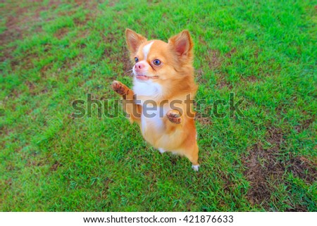 cute chihuahua dog play in field of grass ,wait for food