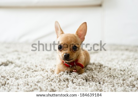 Cute chihuahua dog playing on living room's carpet and looking at camera. - stock photo