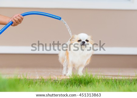 Cute chihuahua dog take a bath at home