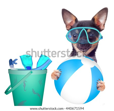 Cute chihuahua dog wants to go snorkeling