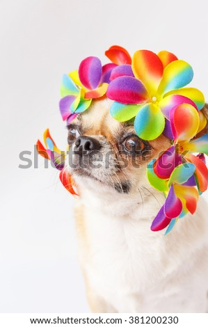 Cute Chihuahua  dog wearing Flower crown on white background.