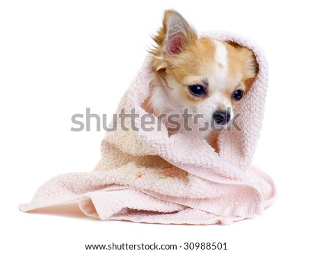 cute Chihuahua dog with pink towel isolated on white background