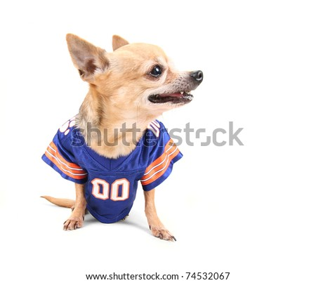 cute chihuahua dressed up in a costume