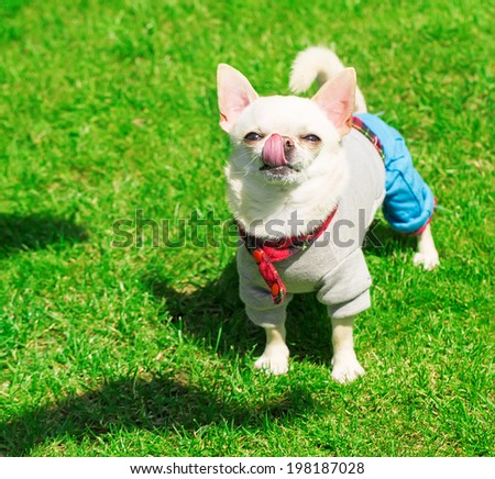 cute chihuahua in clothes standing on the grass - stock photo